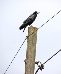Rook_perched_on_telegraph_pole_-_geograph.org.uk_-_1350129